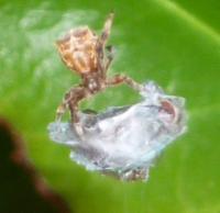 Mise à mort mouche par araignée